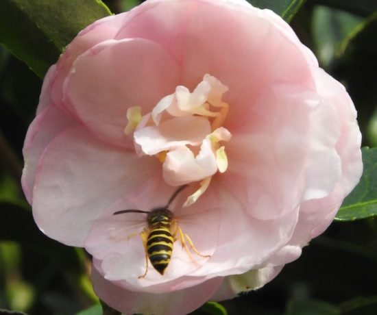 Pink Camelia and bee