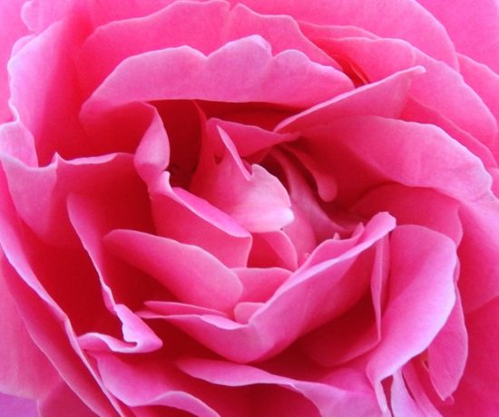 Valentines Day Pink Rose